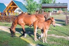 Il puledro del cavallo e sua madre si alimentano ad erba verde Fotografie Stock Libere da Diritti