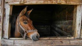 Il puledro nella stalla esamina la via Fotografia Stock Libera da Diritti