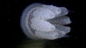 Il pulmo di Rhizostoma delle meduse del barilotto nuota nella colonna di acqua, colpo medio archivi video