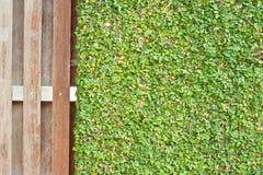 Il pumila di ficus lascia il fondo della parete Fotografie Stock