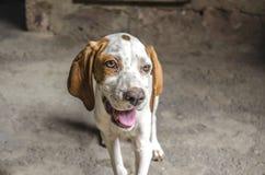 Il puntatore di quattro mesi del cucciolo con le orecchie bianche e castane dorate apre la bocca Fotografie Stock Libere da Diritti