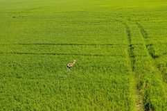 Il punto di vista aereo dei cervi che funzionano nei raccolti verdi sistema Fotografia Stock