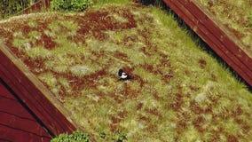 Il punto di vista del corvo in bianco e nero si siede in erba gialla sul tetto di poca casa con Giorno pieno di sole di estate archivi video