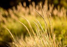 Il punto di vista del primo piano di alta erba gialla al tramonto rays Fotografia Stock Libera da Diritti