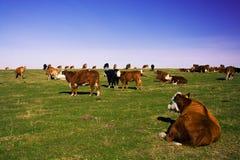 Il punto di vista scenico del gregge delle mucche sul pascolo piano Fotografie Stock Libere da Diritti