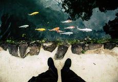 Il punto di vista superiore di bello giapponese pesca la carpa, nuotante in uno stagno Piedi sulla riva Immagini Stock