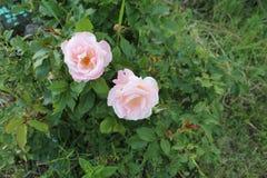 Il punto di vista superiore di due rose di rosa immagine stock libera da diritti