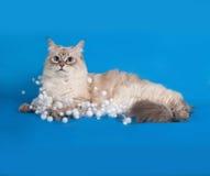 Il punto siberiano della guarnizione del gatto si trova con le ghirlande di Natale sul blu Immagini Stock
