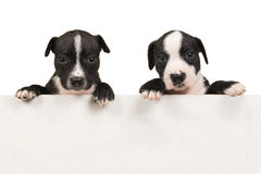 Il puppie del terrier di stafford due insegue la tenuta del bordo bianco di legno immagine stock libera da diritti