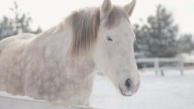 Il purosangue bianco adorabile che sta dietro recinta la neve ad un ranch suburbano Concetto dell'allevamento di cavallo video d archivio