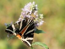 Il quadripunctaria di Euplagia della tigre del Jersey un lepidottero di volo diurno della famiglia Erebidae immagine stock libera da diritti