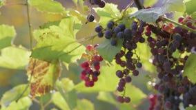 Il raccolto è uva matura, succosa, porpora Fine in su video d archivio