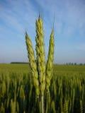 Il raccolto in anticipo del frumento Fotografia Stock