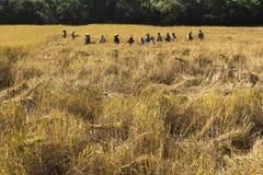 Il raccolto asiatico dell'agricoltore della gente del giacimento del riso nella stagione del raccolto e l'agricoltore raccoglie i Immagine Stock