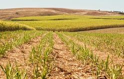Il raccolto australiano della canna da zucchero di industria di agricoltura Fotografia Stock Libera da Diritti