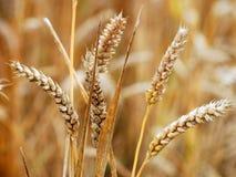 Il raccolto BRITANNICO del frumento Fotografia Stock Libera da Diritti