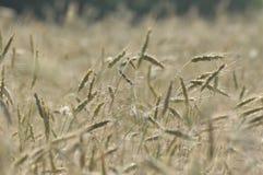 Il raccolto, cereale nell'orecchio Immagini Stock