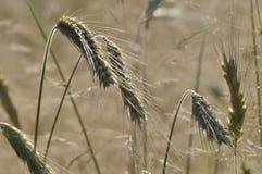 Il raccolto, cereale nell'orecchio Fotografie Stock