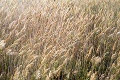 Il raccolto che soffia in vento Fotografia Stock