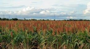 Il raccolto crescente sano di sorgo fotografie stock