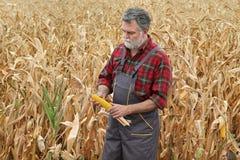 Il raccolto d'esame del cereale dell'agricoltore nel campo Immagine Stock