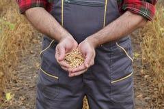 Il raccolto d'esame del fagiolo della soia dell'agricoltore nel campo Immagine Stock