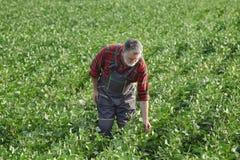 Il raccolto d'esame del fagiolo della soia dell'agricoltore nel campo Immagini Stock Libere da Diritti