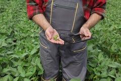 Il raccolto d'esame del fagiolo della soia dell'agricoltore nel campo Fotografia Stock