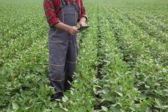Il raccolto d'esame del fagiolo della soia dell'agricoltore nel campo facendo uso della compressa Immagini Stock