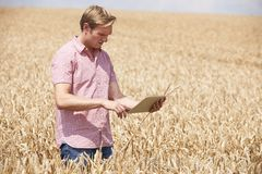Il raccolto d'esame del grano di With Digital Tablet dell'agricoltore nel campo immagine stock libera da diritti