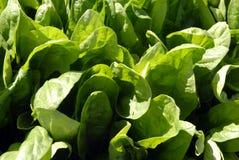 Il raccolto degli spinaci Fotografie Stock