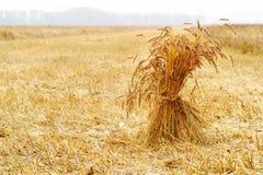 Il raccolto dei raccolti di grano sul campo Immagine Stock