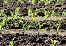 Il raccolto dei semenzali del cereale Fotografia Stock Libera da Diritti