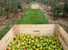 Il raccolto del Apple Fotografia Stock Libera da Diritti