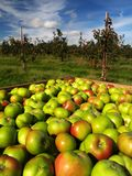 Il raccolto del Apple immagine stock libera da diritti