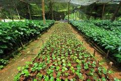 Il raccolto del caffè Fotografie Stock