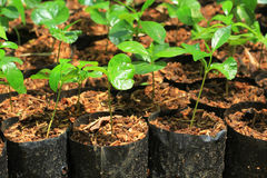 Il raccolto del caffè Immagine Stock Libera da Diritti