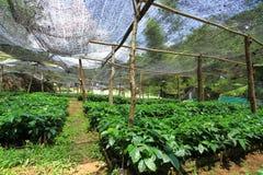 Il raccolto del caffè Fotografie Stock Libere da Diritti