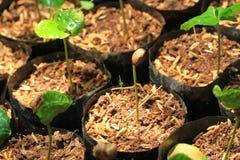 Il raccolto del caffè Immagini Stock
