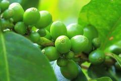 Il raccolto del caffè Fotografia Stock