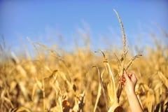 Il raccolto del campo di mais controlla l'autunno Immagine Stock Libera da Diritti