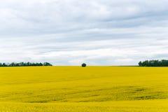 Il raccolto del Canola, nel fiore di primavera Fotografie Stock Libere da Diritti