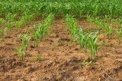 Il raccolto del cereale è stato piantato Fotografia Stock