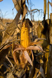 il raccolto del cereale immagine stock
