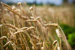 Il raccolto del cereale del grano, campo di grano, fine su Immagini Stock
