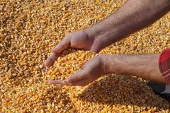 Il raccolto del cereale e dell'agricoltore fotografia stock