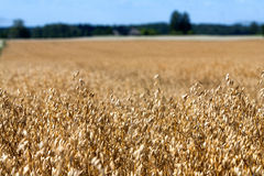 Il raccolto del cereale seminato campo dorato con il cielo e la foresta Fotografia Stock Libera da Diritti