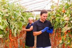 Il raccolto del controllo del figlio e della madre del pomodoro ciliegia in serra con la compressa controlla l'ordine online r fotografia stock