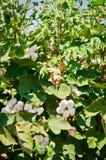 Il raccolto del cotone Fotografie Stock