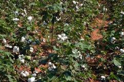 Il raccolto del cotone Immagine Stock